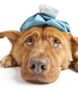 Wags & Wiggles | Dog Flu