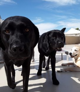Wags & Wiggles   Dog Breed - Labs