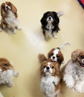 Wags & Wiggles | Cavalier King Charles