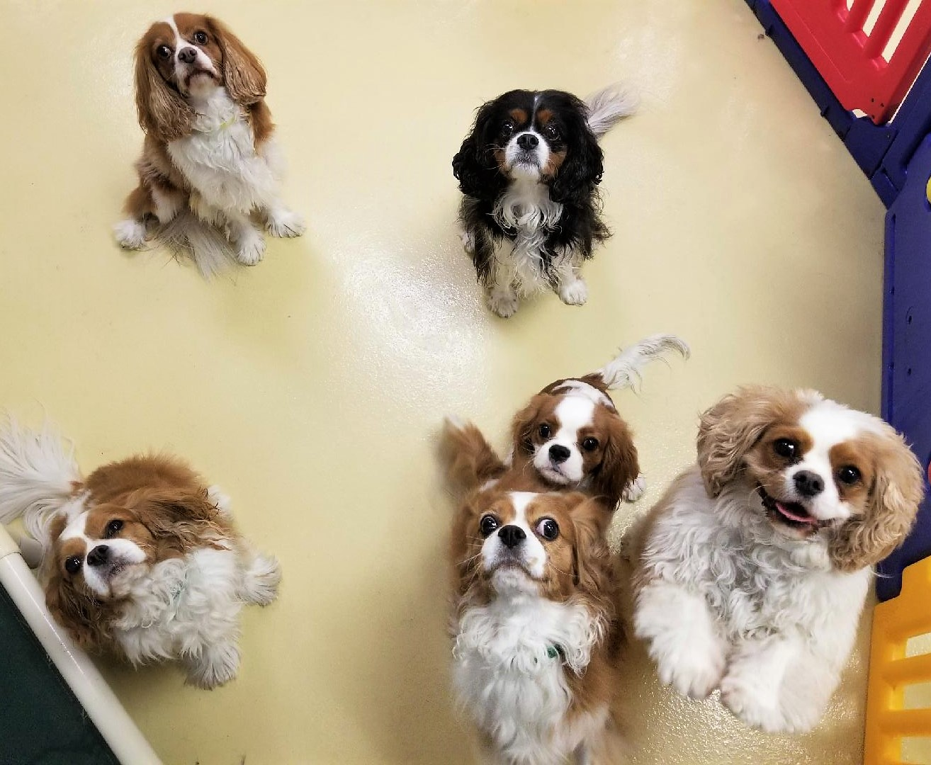 Cavalier King Charles - Orange County Dog Daycare