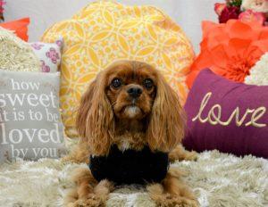 Cavalier King Charles Photoshoot - Orange County Dog Daycare