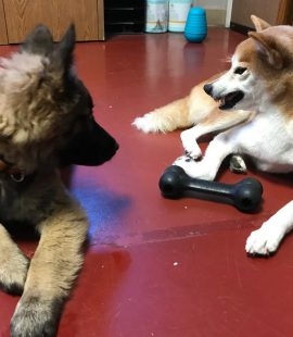 Wags & Wiggles | A Shiba Resource Guarding a Toy