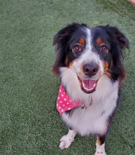 rescue australian shepherd Journey